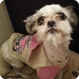 Inland Empire Ca Brussels Griffon Meet Vixen A Pet For Adoption