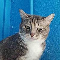 Adopt A Pet :: CELINE - Rogers, AR