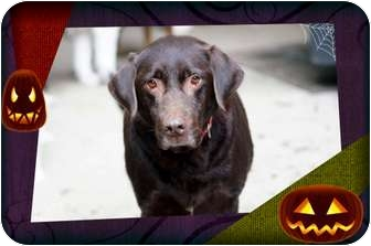 Labrador Retriever Dog for adoption in Spring Valley, New York - Bear