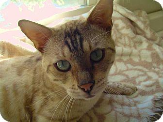 Bengal Cat for adoption in Davis, California - Ozymandias