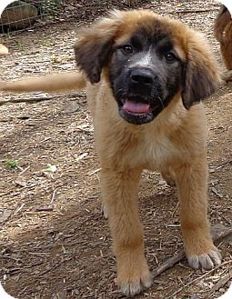 Windham, NH - Golden Retriever  Meet Chumba a Pet for Adoption