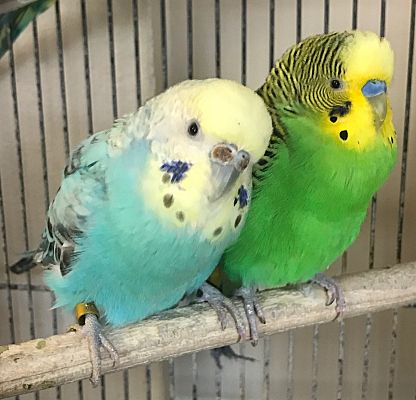 Stratford, CT - Budgie  Meet Petal and Buddy a Pet for Adoption