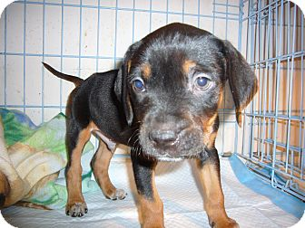 Brooklyn Ny Rottweiler Meet Johnny M A Pet For Adoption