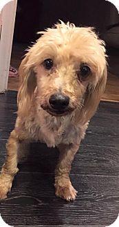 Havanese Dog for adoption in Pittsburgh, Pennsylvania - Sunny