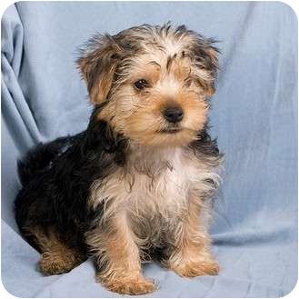 Anna Il Yorkie Yorkshire Terrier Meet Echo A Pet For Adoption