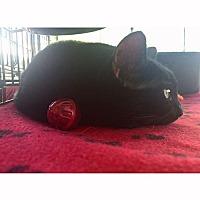 Adopt A Pet :: Sabrina - Chino Hills, CA