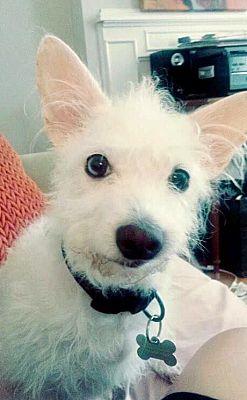 Hockessin, DE - Westie, West Highland White Terrier. Meet Mia a Dog ...