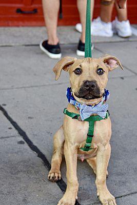 new arrival 24d81 4e5a8 Jersey City, NJ - Boxer. Meet Steph Curry a Pet for Adoption.