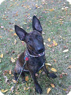 Dutch Shepherd Mix Dog for adoption in Bardonia, New York - Poppy