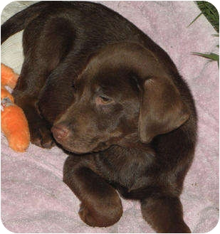 Brooksville, FL - Labrador Retriever. Meet PUPPIES! LAB MIX a Dog for Adoption.