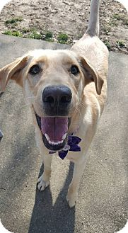 Labrador Retriever Mix Puppy for adoption in Florence, Kentucky - Rumor