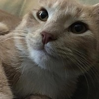 Adopt A Pet :: Snuggles - Washington, VA