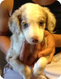 Modesto Ca Australian Shepherd Meet Elle A Pet For Adoption