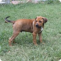 Adopt A Pet :: Hogan-PENDING! - Marion, AR
