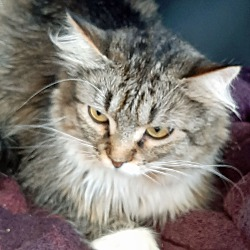 Norwegian Forest Cat Kittens For Sale In Oregon Adoptapet Com