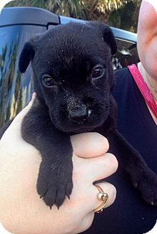 Labrador Retriever/German Shepherd Dog Mix Puppy for adoption in Miami, Florida - Olaf