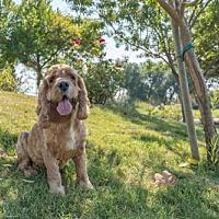 Adopt A Pet :: Tiger - Campbell, CA