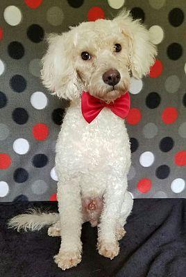 Vancouver Bc Poodle Miniature Meet Fozzy A Pet For