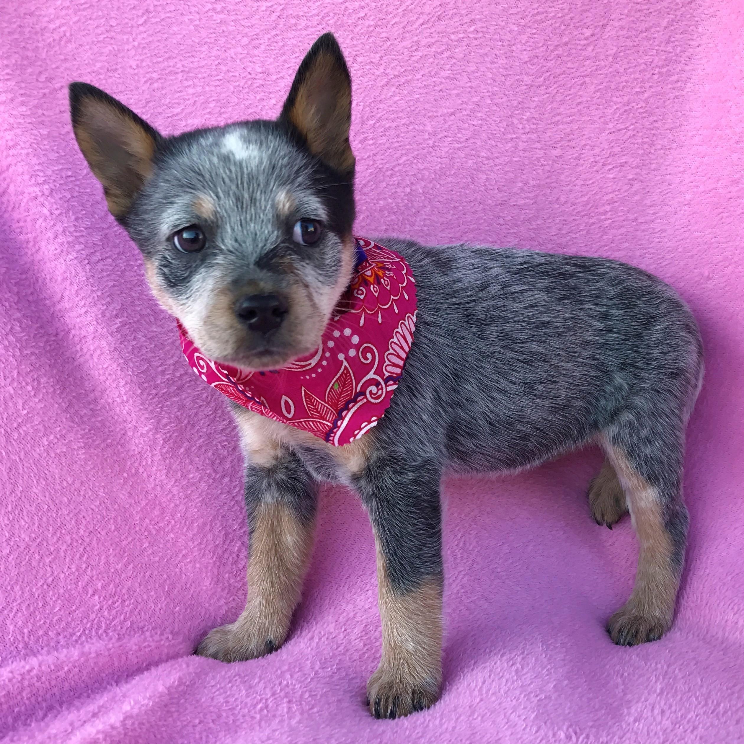 Burbank Ca Blue Heeler Meet Krystal Adopted A Pet For Adoption