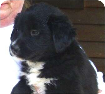 Fayetteville, NC - Labrador Retriever  Meet Fluffy a Pet for