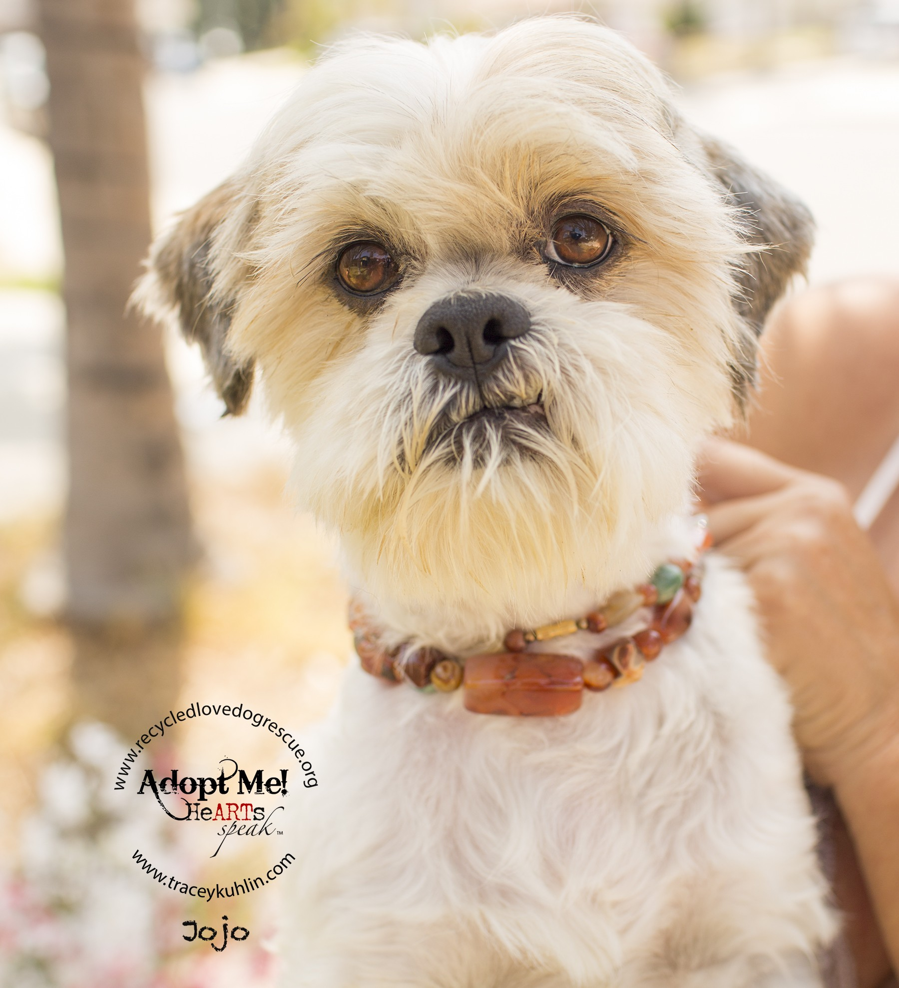 Inland Empire Ca Shih Tzu Meet Jojo A Pet For Adoption