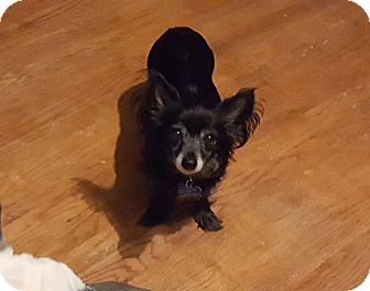 Chihuahua Mix Dog for adoption in Maryville, Illinois - Lucy
