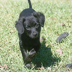 Dachshund Puppies For Sale In Mississippi Adoptapet Com