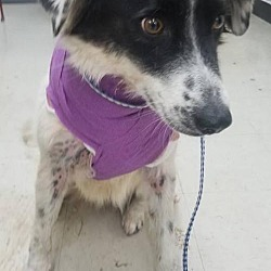 Come Bye Border Collie Rescue Northern Division In