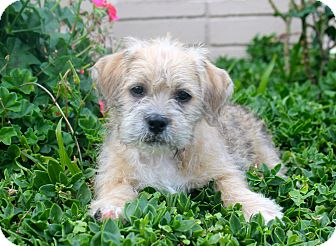 Los Angeles Ca Shih Tzu Meet Donner A Pet For Adoption