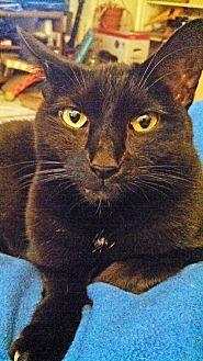 Domestic Shorthair Cat for adoption in Alexandria, Virginia - Sara (in foster)