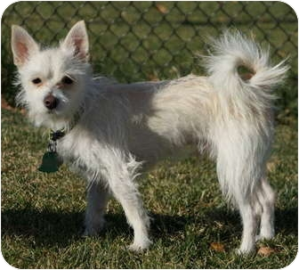 Omaha Ne Westie West Highland White Terrier Meet Bingo Pending