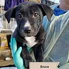 Adopt A Pet :: Bruce