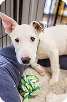 Newport Beach Ca Bull Terrier Meet Penny A Pet For Adoption