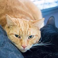 Adopt A Pet :: Andy - New York, NY
