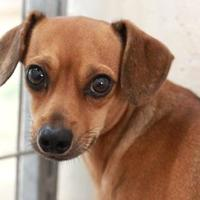 Adopt A Pet :: BROWNIE - Kyle, TX