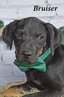 Adopt A Pet :: Bruiser  - Aurora, CO