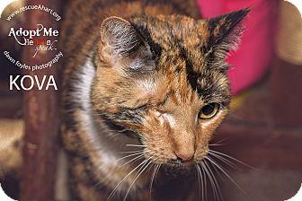 Domestic Shorthair Cat for adoption in Cincinnati, Ohio - Madame Kovarian