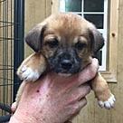 Adopt A Pet :: Casey's Aussies 2