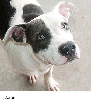 Adopt A Pet :: Baxter  - Windsor, NC