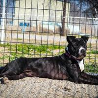 American Pit Bull Terrier/Boxer Mix Dog for adoption in justin, Texas - Faith