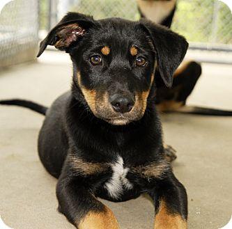West Warwick Ri Rottweiler Meet Rottie Mix Puppies Updated A Pet For Adoption