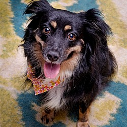 Adopted pets at Texas Mini Aussie Rescue - Mesquite in Mesquite, Texas