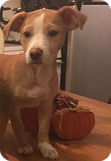 Pit Bull Terrier/Pointer Mix Puppy for adoption in Santa Monica, California - Emmie