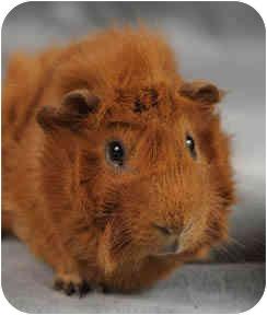 Chicago Il Guinea Pig Meet Caramel A Pet For Adoption