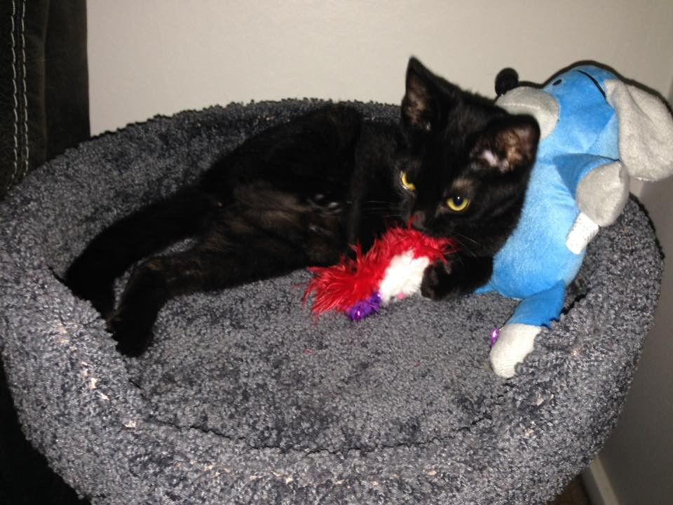 Buffalo, NY - Bombay  Meet Raven (1/2 Siamese) a Pet for