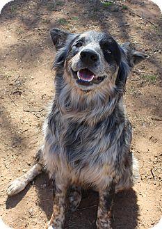 Burleson, TX - Australian Shepherd  Meet Parker a Pet for Adoption