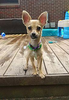 Adopt A Pet :: Paco  - Troy, MI