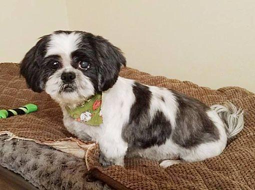 Burlington, VT - Shih Tzu  Meet Grayson a Pet for Adoption
