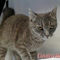 Domestic Shorthair Cat for adoption in Harrisville, West Virginia - Cinderella