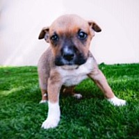 Adopt A Pet :: Xena - Rowland Heights, CA